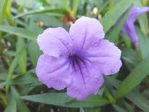 紫色Petonea花|紫色花 免版税库存照片