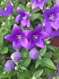 紫色Platycodon Grandiflorus花 图库摄影