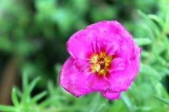 紫色portulaca头状花序 库存图片