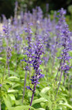 紫色salvia 免版税库存照片
