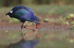紫色Swamphen哺养 免版税图库摄影