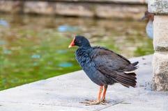 紫色swamphen鸟 库存照片