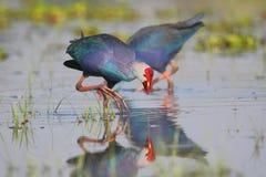 紫色swamphen 库存照片