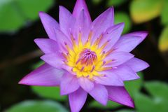 紫色WATERLILLY -近景 库存照片