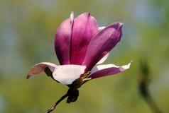 紫色yulan 库存图片