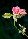 紫花苜蓿花 库存图片