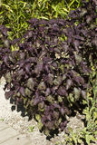 紫苏frutescens 库存照片