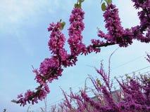 紫荆花花在盛开 图库摄影