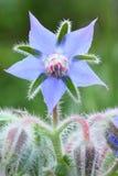 紫草科 库存照片