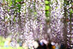 紫藤在嘉定紫藤公园 免版税库存图片