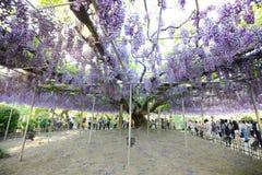 紫藤在日本 免版税库存照片