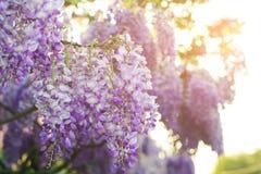 紫藤花开花春天 背景细部图花卉向量 免版税库存照片