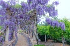 紫藤荫径 库存图片