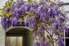 紫藤 免版税图库摄影