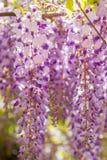 紫藤 免版税库存图片
