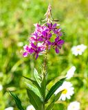 紫金山花在犹他 图库摄影