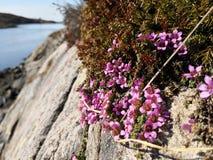 紫金山saxifrage,虎耳草属植物oppositifolia子空间 Oppositifolia 库存照片
