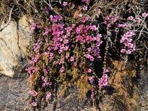 紫金山saxifrage,虎耳草属植物oppositifolia子空间 Oppositifolia 免版税库存图片