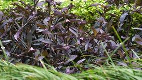 紫鸭跖草丛林  影视素材