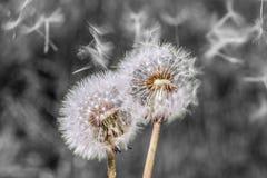 絮球蒲公英种子顶头花开花白色绿色春天 库存照片
