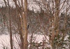 繁忙的小的啄木鸟 免版税图库摄影