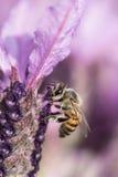 繁忙的蜂 免版税图库摄影
