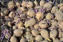 繁殖土豆发芽的幼木  免版税库存照片