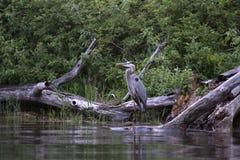 繁殖的伟大蓝色的苍鹭的巢- Ardea herodias 库存图片