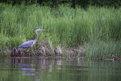 繁殖的伟大蓝色的苍鹭的巢- Presqu'ile省公园 免版税库存照片
