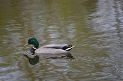繁殖的公野鸭 免版税库存图片