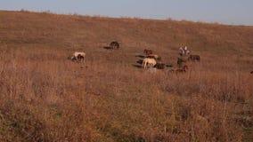 繁殖的农夫马牧场地保密性 股票视频