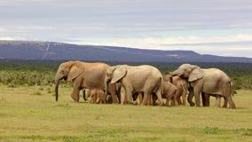 繁殖的大象牧群 免版税库存照片