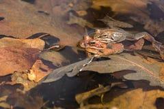 繁殖的木青蛙 免版税库存图片