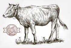 繁殖的母牛 母牛 家畜 库存图片