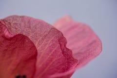 繁殖的毛茛农田开花以色列紫色春天浩大的白色 关闭射击 库存图片