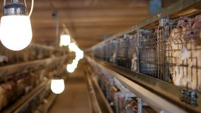 繁殖的烤小鸡和鸡,烤小鸡坐关在监牢里在小屋,禽畜的安置,家畜  影视素材