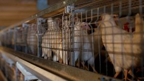 繁殖的烤小鸡和鸡,烤小鸡坐关在监牢里在小屋,禽畜的安置,家畜  股票录像