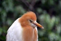 繁殖的牛东部白鹭全身羽毛季节 免版税库存图片