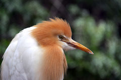 繁殖的牛东部白鹭全身羽毛季节 库存图片