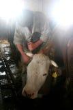 繁殖的牛 免版税库存照片