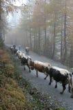 繁殖的牛 库存图片