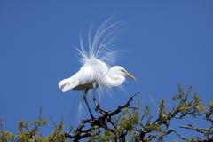 繁殖的白鹭极大的全身羽毛 库存图片