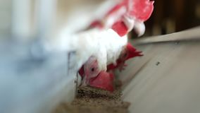 繁殖的鸡和鸡蛋的,啄饲料,特写镜头,大农场母鸡,禽畜的鸡家禽场 股票视频