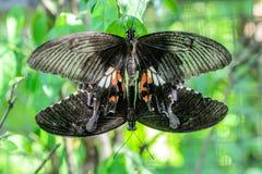 繁殖的蝴蝶茧行 免版税库存照片