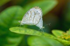 繁殖的蝴蝶茧行 库存照片