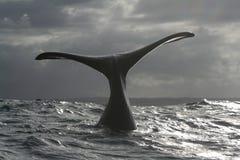 纠正南部的尾标鲸鱼 图库摄影