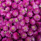 红三叶草头状花序,无缝的样式背景 图库摄影