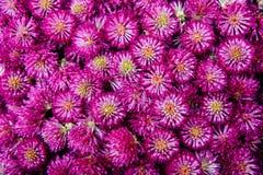 红三叶草头状花序,无缝的样式背景 库存图片