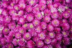 红三叶草头状花序,无缝的样式背景 免版税库存照片