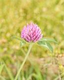 红三叶草,车轴草pratense美好的绽放  库存图片